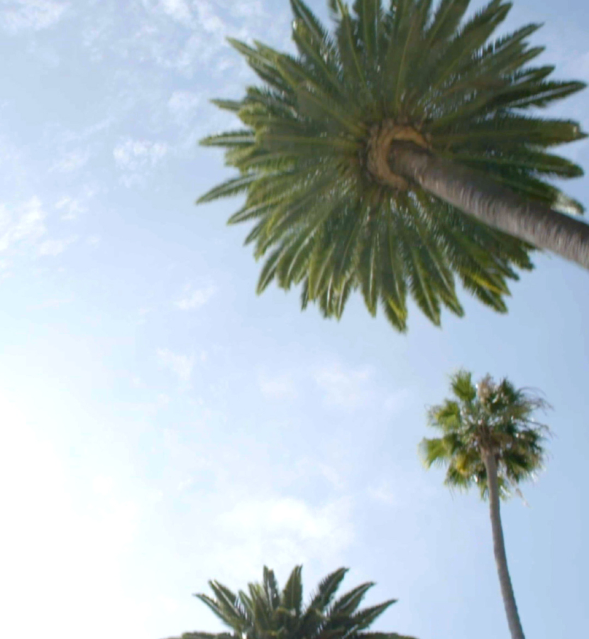 Overhead shot of Beverly Hills Palm Trees